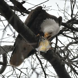 This bald eagle was photographed on the Esplanade on April 12.