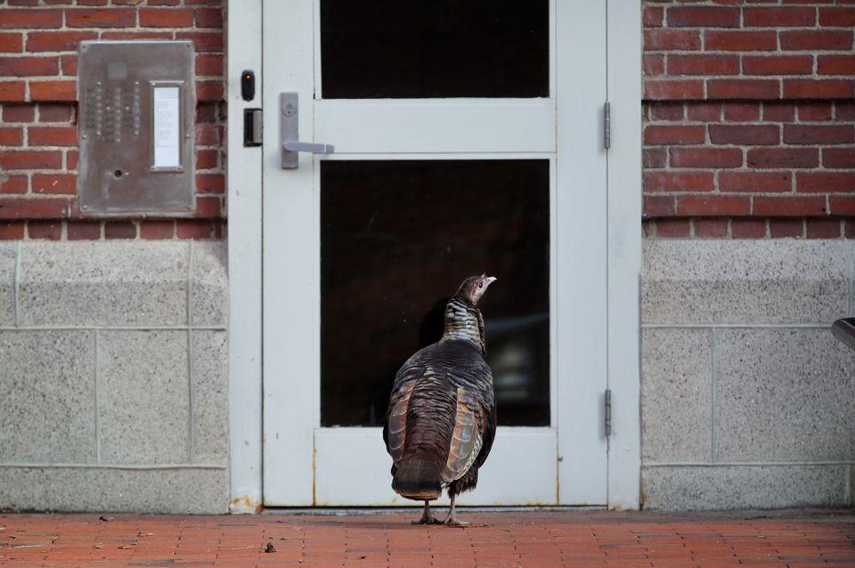 A wild turkey stands at a doorway on Mt. Auburn Street in Cambridge in 2015.