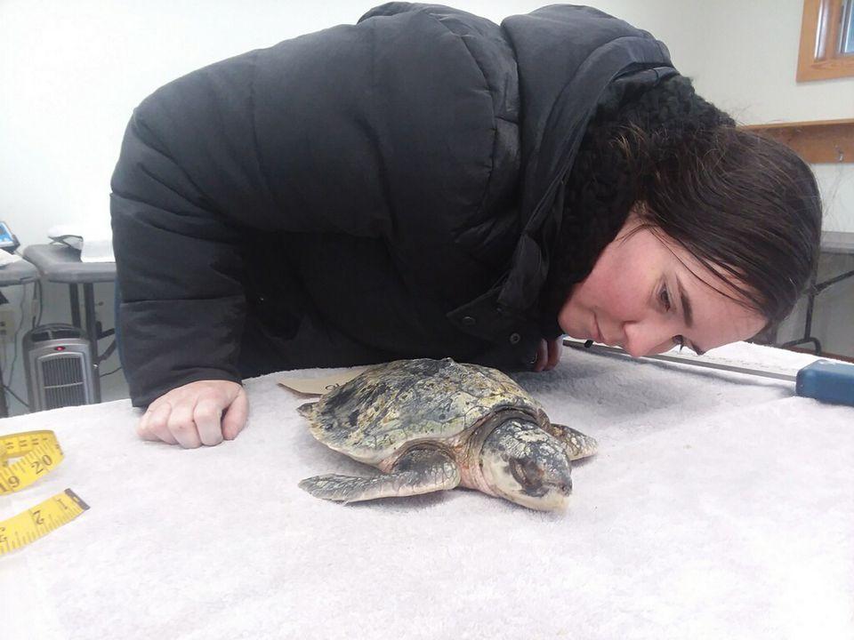 A Wellfleet Bay staff member, Maureen Duffy, observed a Kemp's ridley turtle that survived.