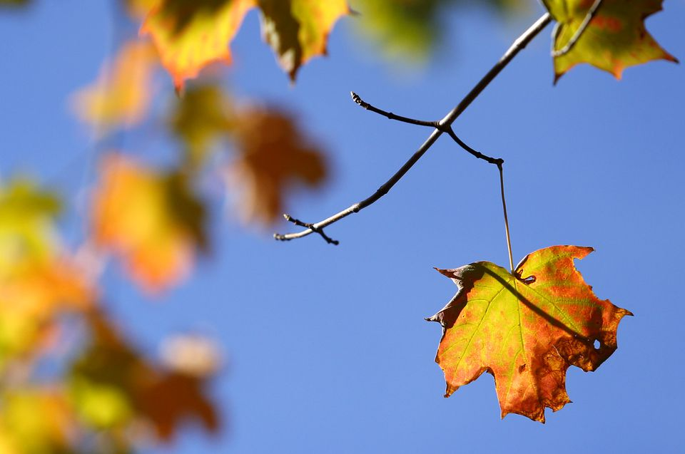 A leaf in Bolton hints at what Central and Eastern Massachusetts can expect this autumn.
