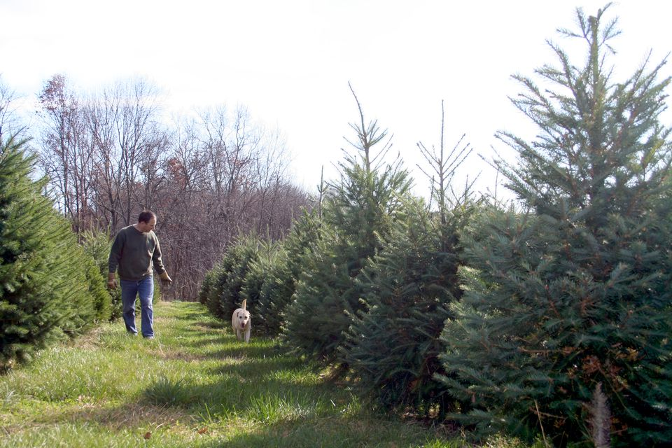 Bill Latham, a second-generation Christmas tree farmer in Groveland, walks through this year's crop with his dog Peyton.