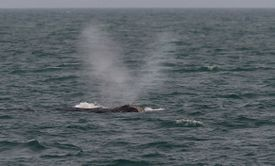A right whale surfaced off the coast of Provincetown, making a V-shaped spray of water from its blowhole.