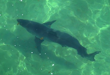 First two great white sharks of the season tagged in Cape Cod Bay