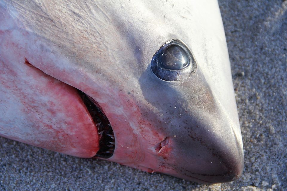 This shark was discovered along the Cape Cod shoreline last week.