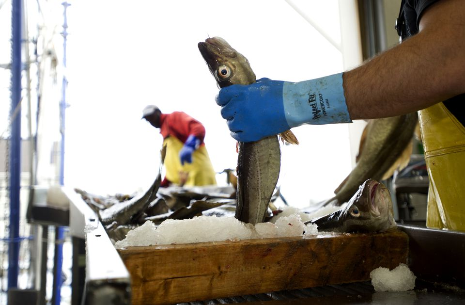 A fisherman sorted freshly caught cod at a fish off-loading facility in Gloucester.