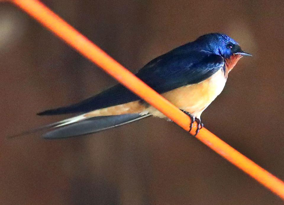 A barn swallow.