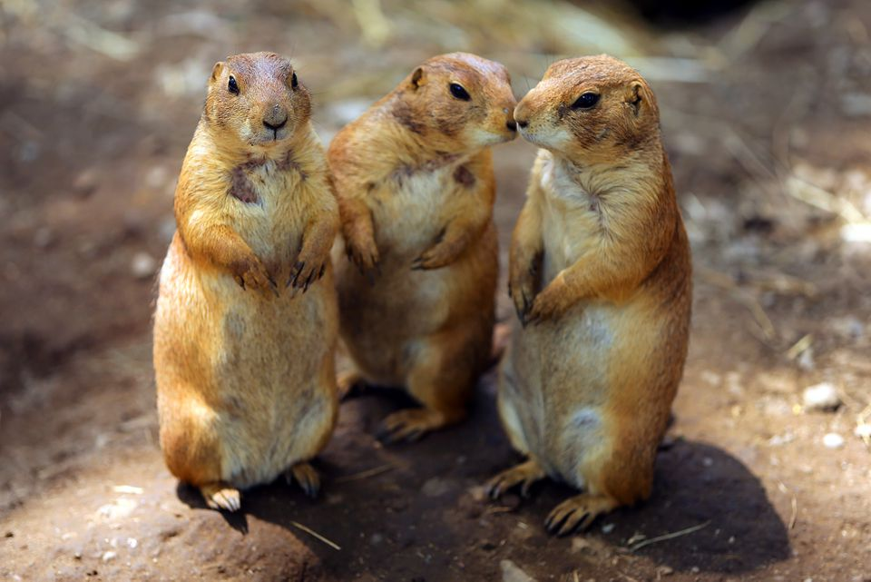 Black-Tailed prairie dogs cluster at Franklin Park Zoo.
