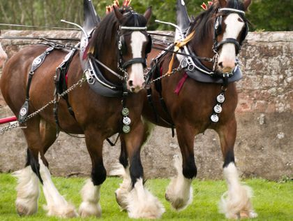 Clydesdales missing from Rose Parade - The Boston Globe