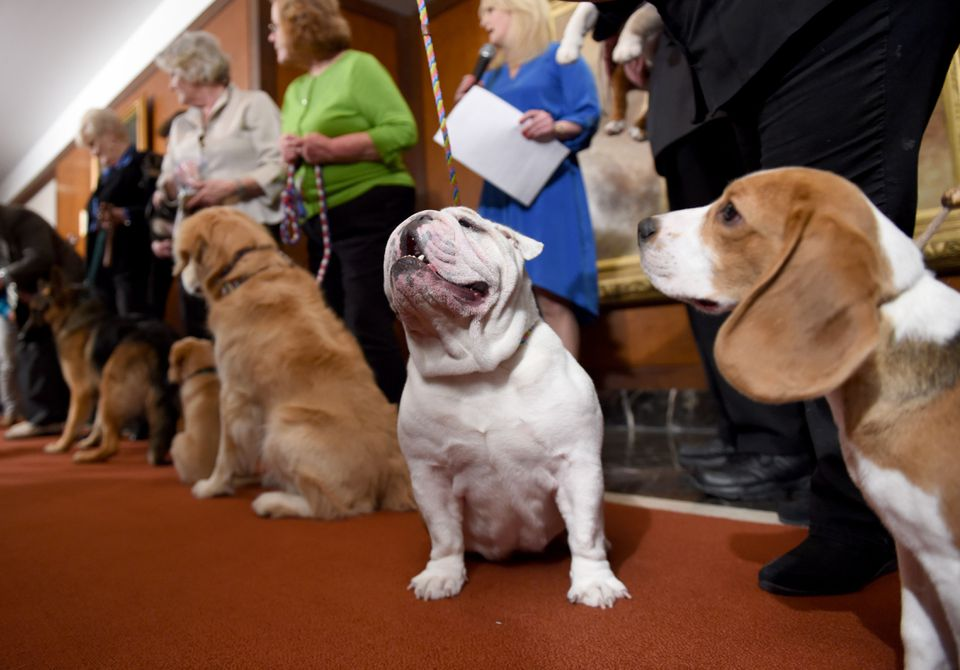 A Bulldog and other breeds posed for photographers.