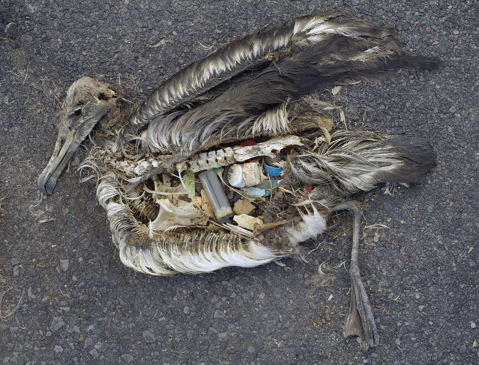 A baby albatross on Midway Atoll, in the middle of the Pacific Ocean. It was fed lethal amounts of plastic by its parents, who mistook the floating debris for food.