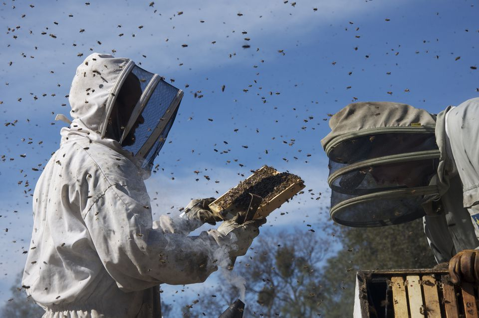 """""""More Than Honey"""" visits beekeepers all over the world, including Australia (pictured), and features close-ups of bees at work."""
