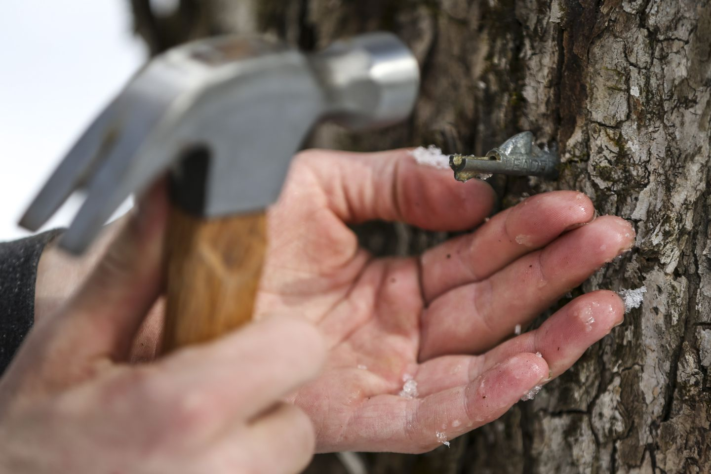 Ben puts a tap in a maple tree.