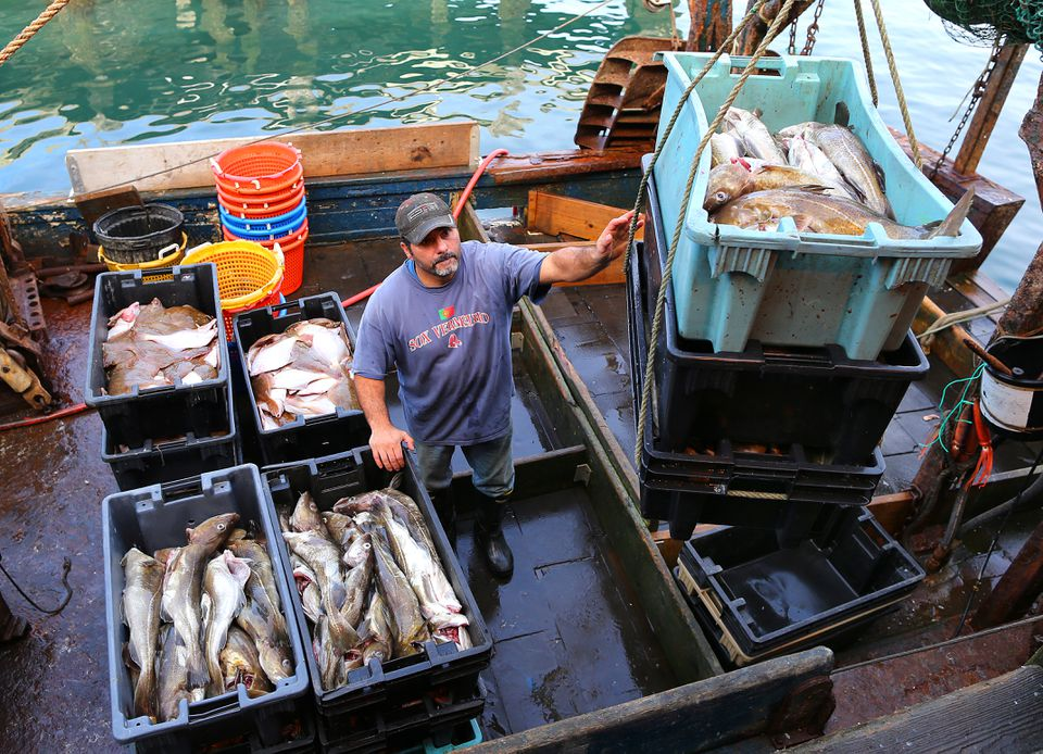 Many of the region's commercial fishermen take issue with the surveys, saying the historic fishery has been fully rebuilt. Above: In Gloucester, Al Cottone unloaded 1,184 pounds of cod from his boat in 2014.
