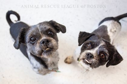 Two Shih Tzu dogs rescued from woman selling them for cash at flea