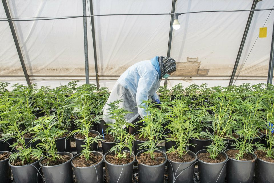 Cannabis seedlings are cared for by a worker in a greenhouse of the cannabis cultivating and processing plant of BOL Pharma – Revadim Industrial Center in Lod, Israel.