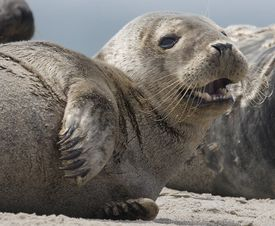 More and more seals are popping up around Nantucket, and some who fish these waters believe they have become a major nuisance.
