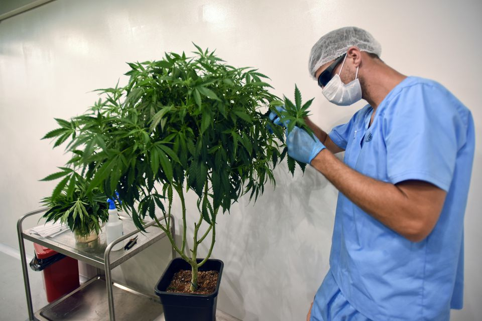 An employee of Fotmer SA, an enterprise that produces cannabis for medical use, make cuttings of a mother plant to produce clones, in Montevideo, Uruguay.