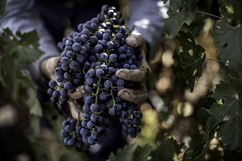 Grapes at harvest time.