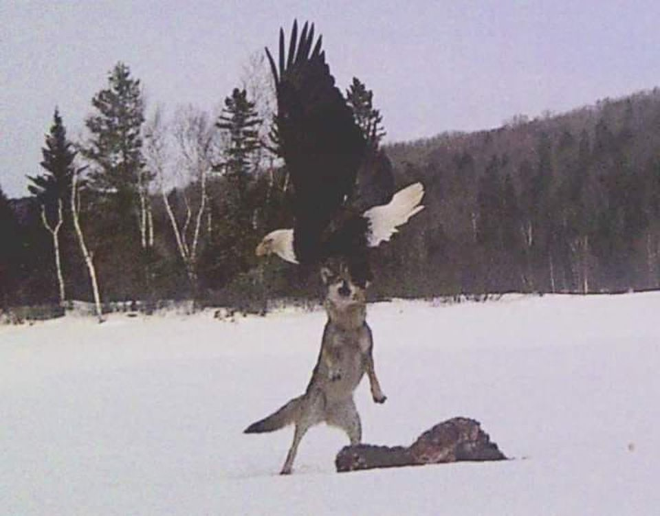 Richard Gurney's trail camera caught a bald eagle swooping down toward a coyote on Brassua Lake as the animal tried to feast on a deer carcass.
