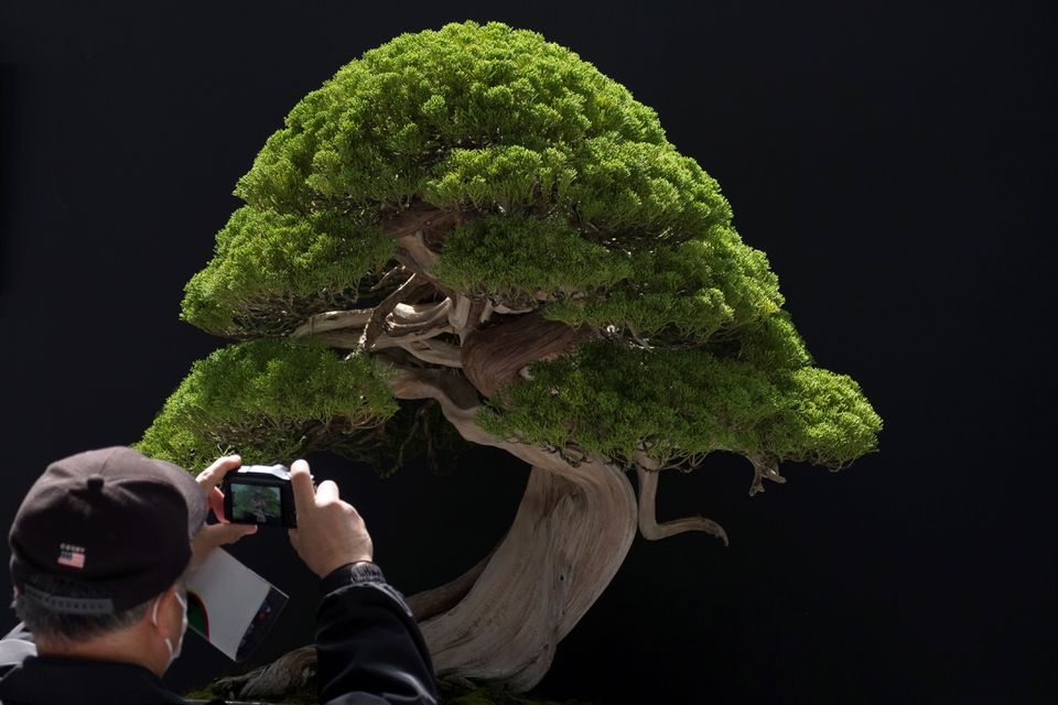 A visitor photographed a bonsai displayed at the 8th World Bonsai Convention in Saitama in 2017.