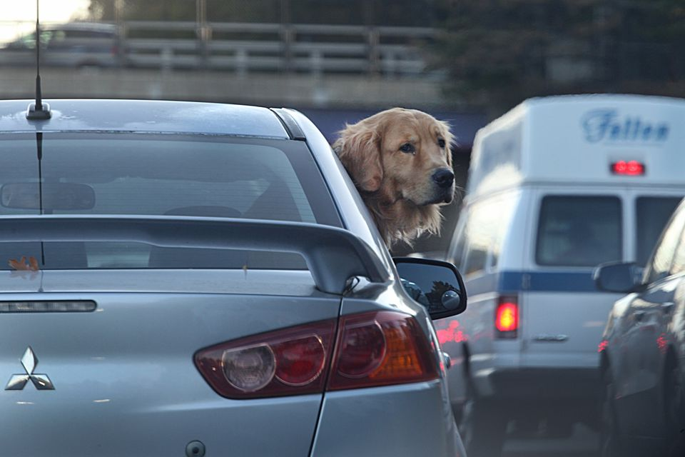 A golden retriever poked his head out during traffic on the Massachusetts Turnpike last month.