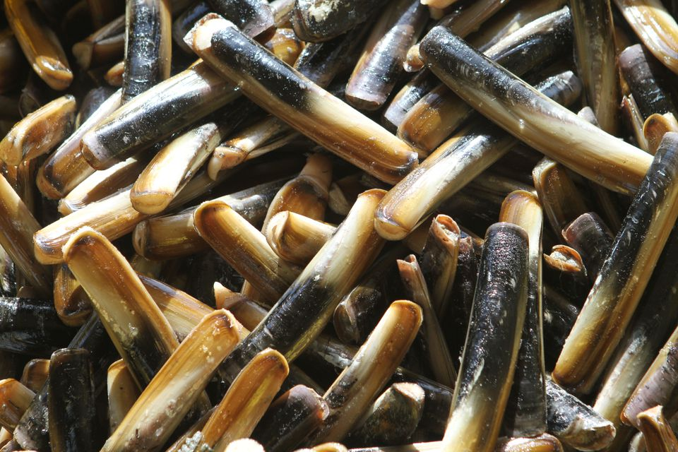 Razor clams from Red's Best Seafood in Ipswich.