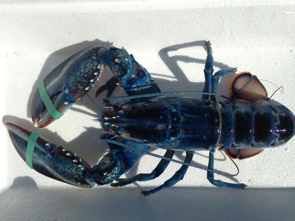 Meghan LaPlante, 14, found this rare blue lobster in Maine.