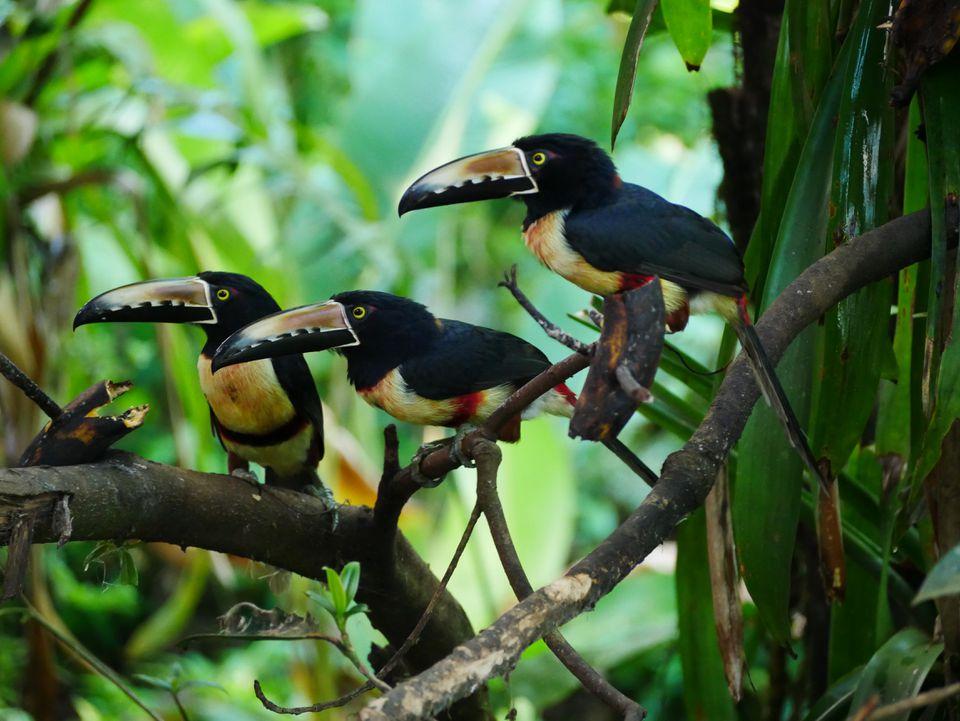 Collared Aracaris spotted in Bijagua.