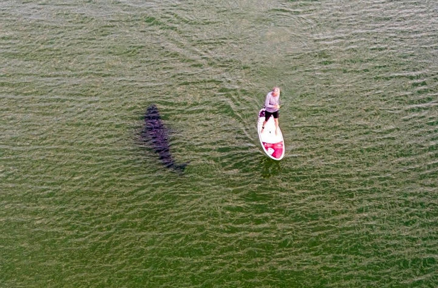 A photograph taken with a drone off the Nauset shoreline on Sunday captured the silhouette of a great white shark cruising by an unsuspecting paddleboarder.