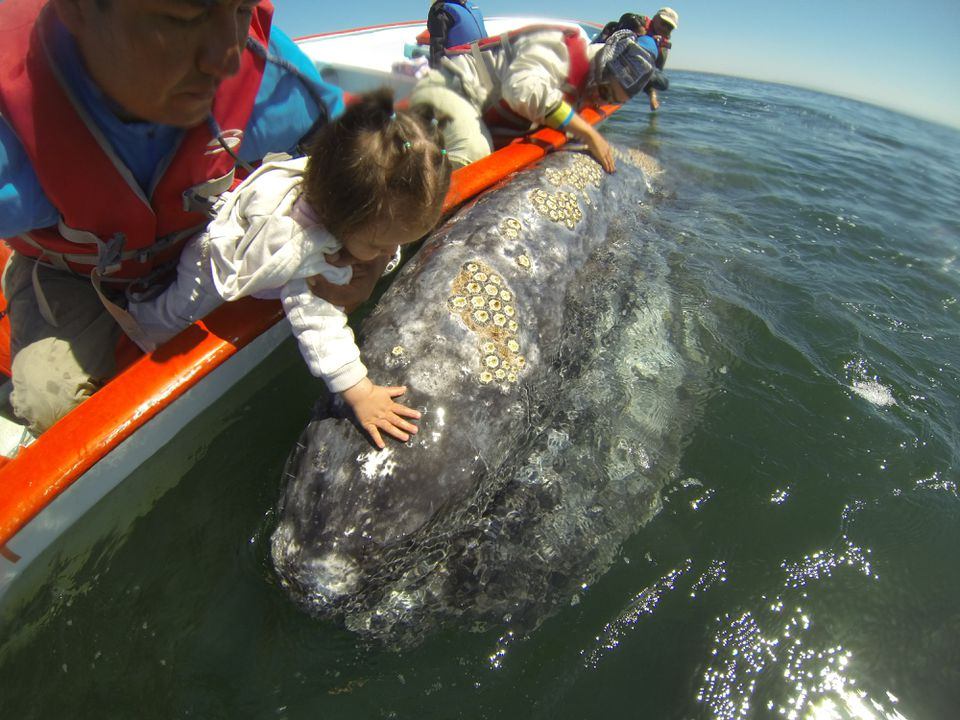 Several tour companies arrange trips to see the friendly whales of Laguna San Ignacio during whale-viewing season, which runs from roughly December into April.