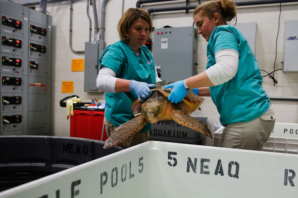 Leigh Woodman and Sarah Buttermore put a loggerhead in a temperature-controlled pool in Quincy.