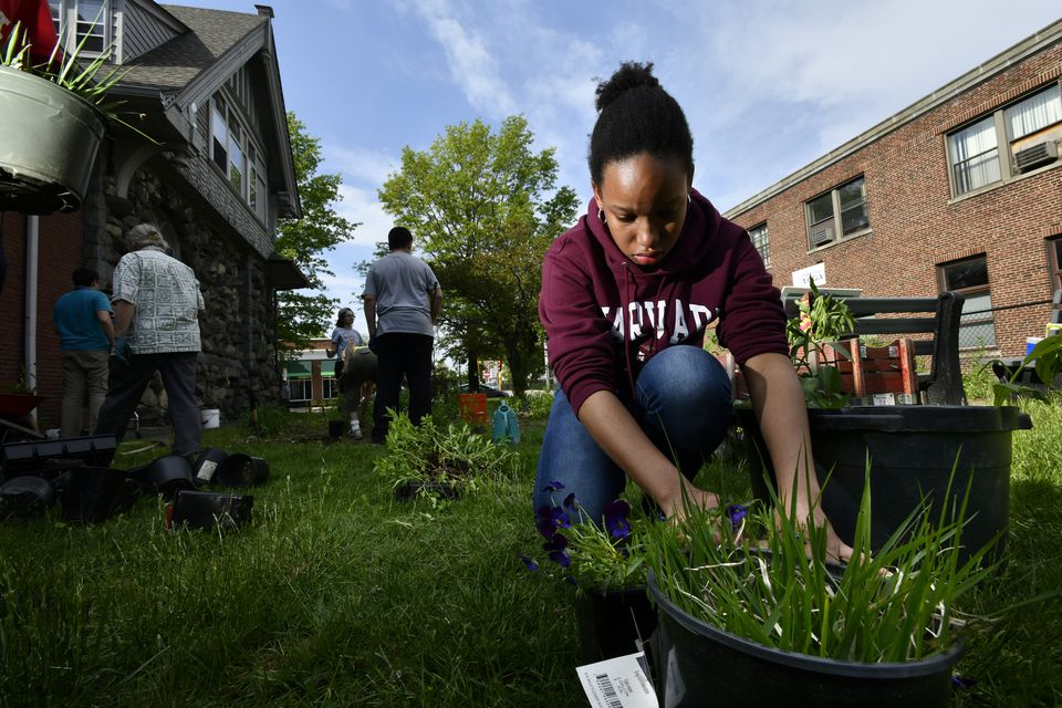 Korahly Clerge, 18, of Waltham, pots a wildflower to be transplanted to Waltham Common.