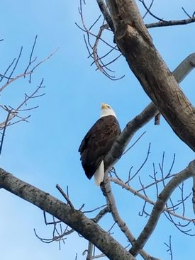 Bald eagle photographed along the Charles River Esplanade by Renee Portanova, Horticulture Manager at the Esplanade Association. Photo/Renee Portanova