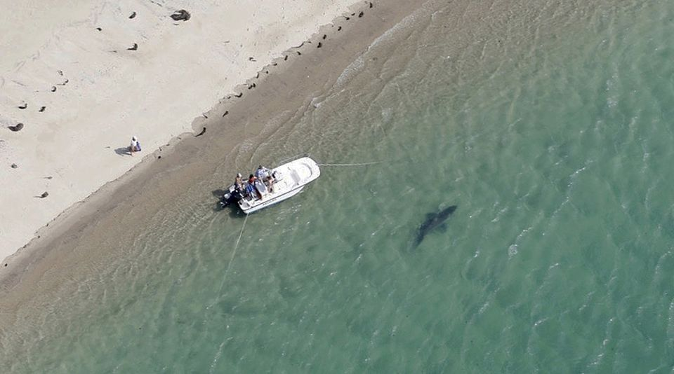 A great white shark swam close to the Cape Cod shore in Chatham last summer.