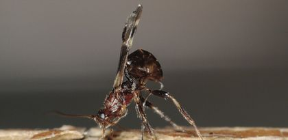 Maine Forest Service releasing wasps to kill invasive forest beetles