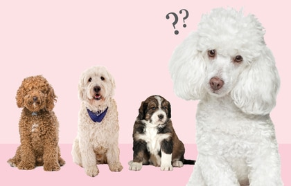 Golden doodles, whoodles, and giant schnoodles — oh my! - The Boston