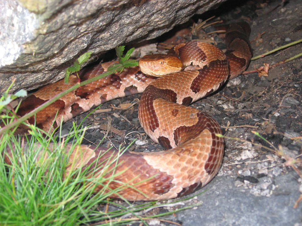 A northern copperhead, endangered in Massachusetts, in the Blue Hills, one of three habitats for the species in Massachusetts.