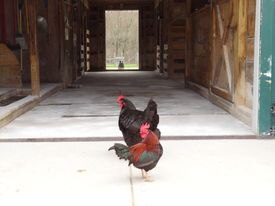 Roosters at Alderbrook Farm.