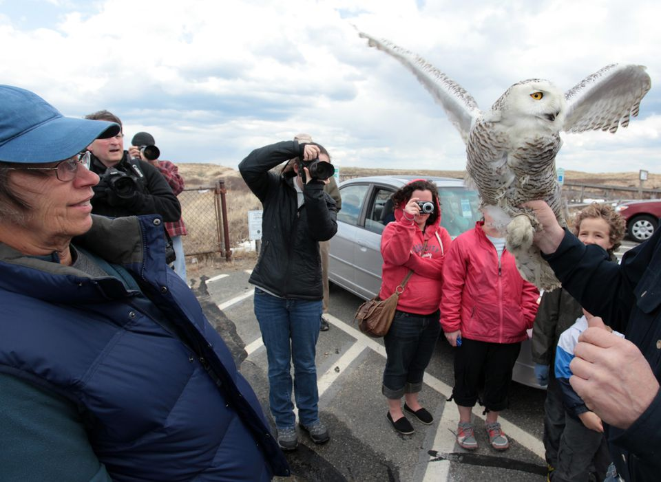 People cheered for snowy owl Century, released at Parker River National Wildlife Refuge.