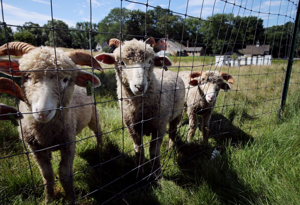 Saltbox Farm is raising Dorset sheep for Saltbox Kitchen in Concord.