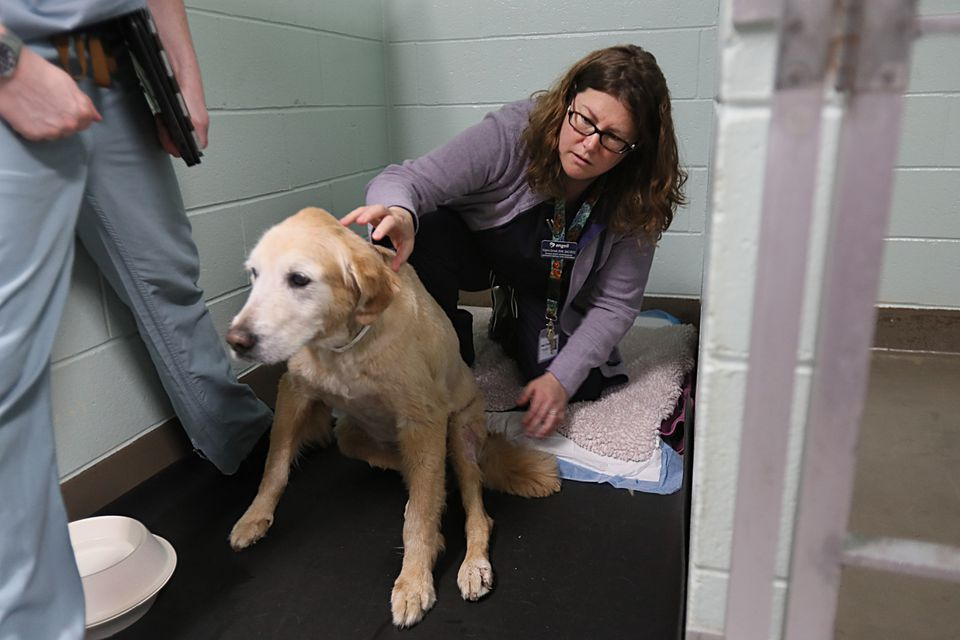 Dr. Virginia Sinnott (pictured checking on a patient in Angell Animal Medical Center's Emergency and Critical Care unit) says about half of the clients who come in for xylitol poisoning aren't aware of the potential dangers.