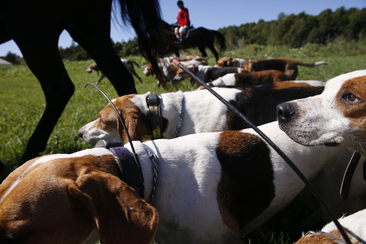 The hounds follow closely behind their Huntsman and Kennelman, Kate Selby. The dogs wear GPS collars so that Selby will be able to find them if they go astray.