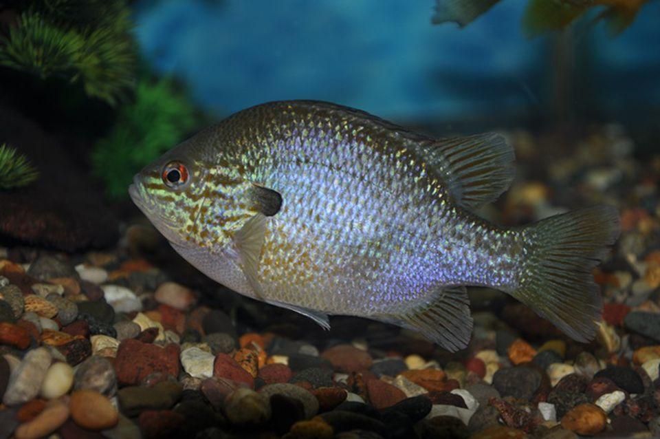 We're not talking about this kind of sunfish.