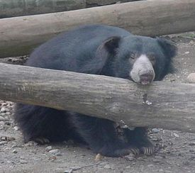 Two sloth bears at Capron Park Zoo in Attleboro died within a week of each other.