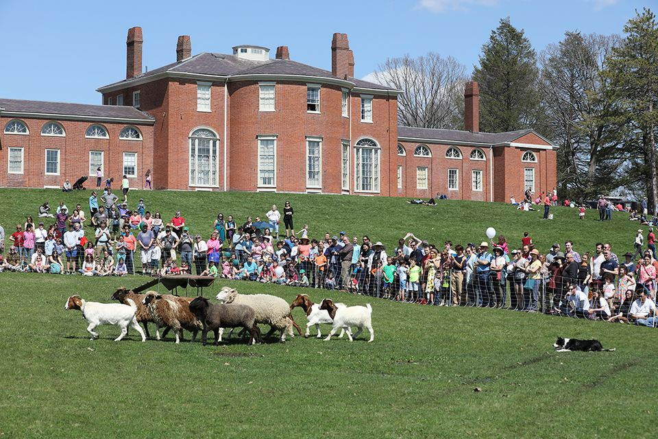 Sheep herding at Gore Place in Waltham, part of the annual Sheepshearing Festival, set for Saturday, April 27.