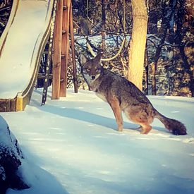 This coyote was photographed in Waban in January 2018.